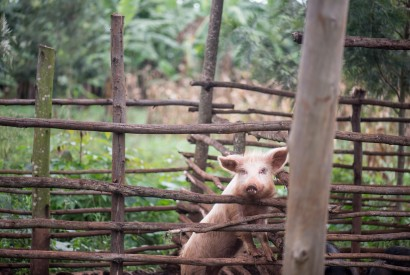 A pig peeks at visitors on Emmanuel Kaburame's farm in Kirech District, Rwanda. Photo by Bread for the World.