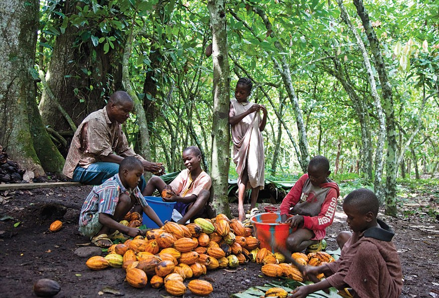 David Kpan harvests cocoa near Wehplay, Liberia, with five of his children. Photo by Laura Elizabeth Pohl